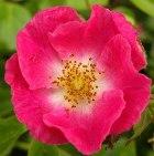 Beautiful pink rose fully opened
