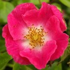 Red/pink rose, symbol of Bathsheba's beauty