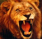 Male lion with bared teeth