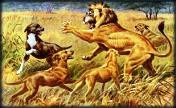 Hunting dogs attacking a lion