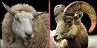 A sheep and a goat, photograph