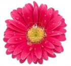 Red-pink gerbera flower with white background